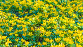 Yellow flowers Eranthis hyemalis Stock Images
