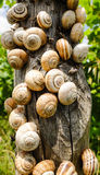 Many snails are gattering on a wooden pole. Abstract: stands for competition or teamwork Stock Photo