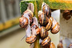 Many snails sitting on the wooden structures on the farm Royalty Free Stock Photo