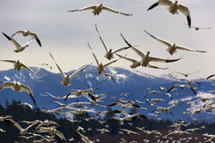 Many Snow Geese Close Up Flying From Mountain Stock Photos