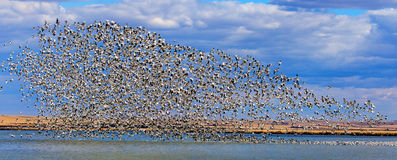 Many Snowgeese Taking Off From A Lake Royalty Free Stock Photo