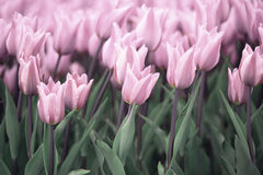 Many soft violet colored tulip flowers Royalty Free Stock Photo