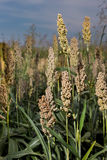 Many of sorghum heads Stock Photos