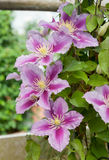 Many speciemens of Clematis Nelly Moser flowers Royalty Free Stock Images