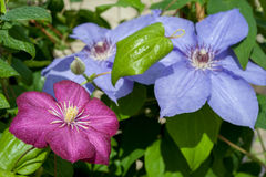 Many speciemens of Clematis Nelly Moser flowers Royalty Free Stock Photo
