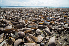 Many species of shell debris pile at Krasiao dam. Stock Image