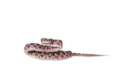 Many Spotted Cat Snake on white Royalty Free Stock Photos