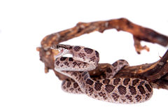 Many Spotted Cat Snake on white Stock Images
