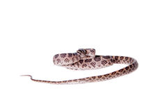 Many Spotted Cat Snake on white Stock Photo
