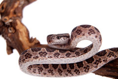 Many Spotted Cat Snake on white Stock Image