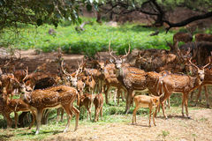 Spotted deer. Many spotted deer in wild life sanctuary Royalty Free Stock Image