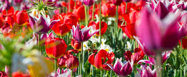 Many spring red tulips. Stock Photography