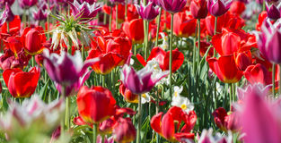 Many spring red tulips. Royalty Free Stock Images