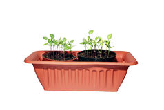 Many sprouts peppers in a brown box isolated Royalty Free Stock Photo