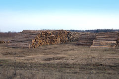 Many stacked pine logs side view Stock Photography