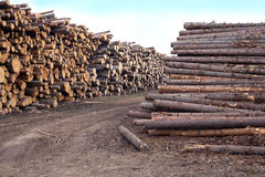 Many stacked pine logs side view Royalty Free Stock Image