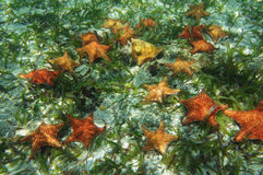 Many starfish underwater with a queen conch shell Royalty Free Stock Photography