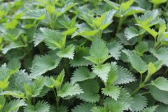 Many stinging nettles. The picture shows many stinging nettles stock images