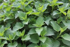 Many stinging nettles. The picture shows many stinging nettles royalty free stock photos