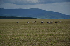 Many storks feed in the field near forest Royalty Free Stock Photography