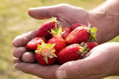 Many strawberries on hand, focus on strawberry. Fresh ripe red strawberries in dirty male hands, focus on strawberry Royalty Free Stock Photography