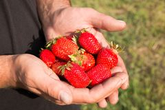 Many strawberries on hand, focus on strawberry. Fresh ripe red strawberries in dirty male hands, focus on strawberry Stock Photos