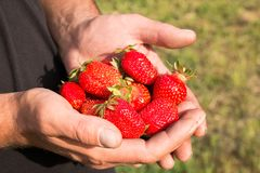 Many strawberries on hand, focus on strawberry. Fresh ripe red strawberries in dirty male hands, focus on strawberry Royalty Free Stock Images