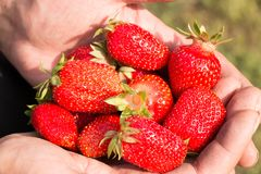 Many strawberries on hand, focus on strawberry. Fresh ripe red strawberries in dirty male hands, focus on strawberry Royalty Free Stock Photos