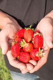 Many strawberries on hand, focus on strawberry. Fresh ripe red strawberries in dirty male hands, focus on strawberry Stock Images