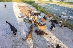 Many stray. Cats are dirty, they get sick, cats need a vet and a new home. Many stray cats against a brick wall. Cats are dirty, they get sick, cats need a vet royalty free stock photos