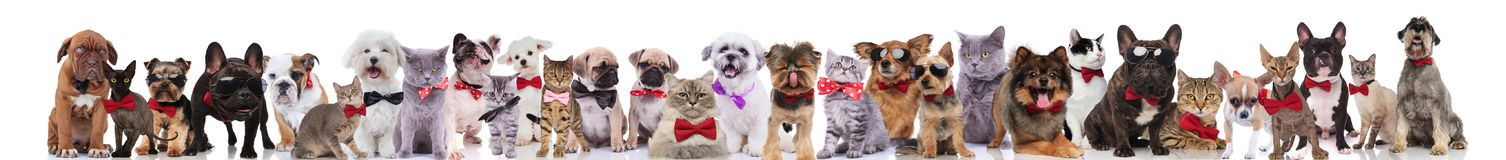 Many stylish cats and dogs wearing bowties and sunglasses. While standing, sitting and lying on white background royalty free stock photos