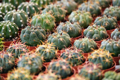 Succulent plants to the flower market, selective focus Royalty Free Stock Images