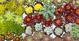 Many succulents in a garden centre. Royalty Free Stock Photos