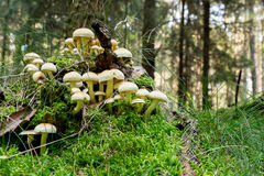 Many sulfur heads in the forest Stock Images