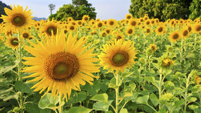 Sunflower blooming in farm. Many sunflower blooming in farm stock photo