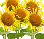 Many Sunflower flowers Stock Images