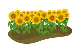 Many sunflower. Vector Illustration: many sunflower on the ground isolated on white background Stock Photography