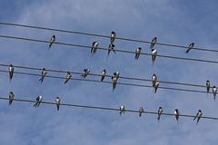 Many swallows sitting on the wires. Flock of barn swallow Hirundo rustica Royalty Free Stock Photography