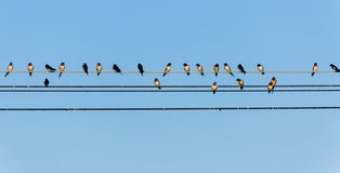 Many swallows on a wire Royalty Free Stock Photos