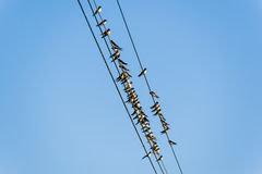 Many swallows on a wire Stock Image
