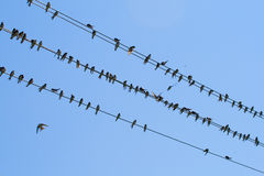 Many swallows on wire Stock Image