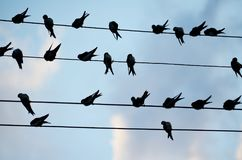 Many swallows on the wire on a sky background. Swallows gathering  and relaxing  on the electric  wires at sunset Stock Image