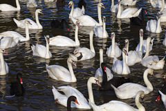 Many swan and water Royalty Free Stock Photo