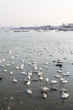 Many swans. On a lake Royalty Free Stock Image