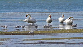 Many swans on the shoal lake stock video