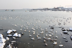 Many swans2. Many swans on a lake Royalty Free Stock Photo