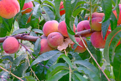 Many sweet fresh ripe peaches on branch in front of green leaves. Good harvest Stock Photos