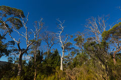 Many tall gum trees, pine growing at Eucalyptus Forest along Overland track at Cradle mountain, Tasmania, Australia. Many tall gum trees, pine growing at stock images