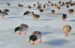 Tamed wild ducks in the frozen pond Royalty Free Stock Photos