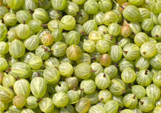 Many tasty fresh green gooseberries closeup Royalty Free Stock Photos